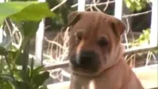 traditional sharpei puppy