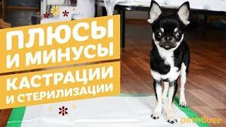 Плюсы и минусы кастрации и стерилизации кошек и собак