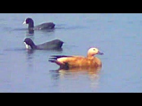 Very conscious Ruddy shelduck (Tadorna ferruginea) or Brahminy Duck comparison with coot