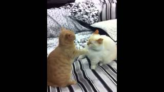 Munchkin Cat Hockey Fight thumbnail