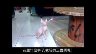 Sphynx playing Sphynx Kingdom Cattery 斯芬克斯王國貓舍 - 台灣 Taiwan 貪玩貓