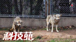 《科技苑》20150728 养狼的女人 | CCTV农业