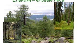 Презентация Многообразие голосеменных растений