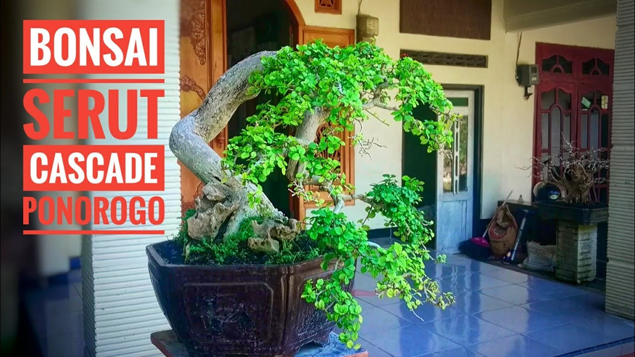 Bonsai Serut Streblus Asper Gaya Air Terjun Youtube