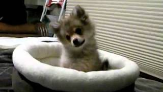 Puppy Baby Wolf Howl