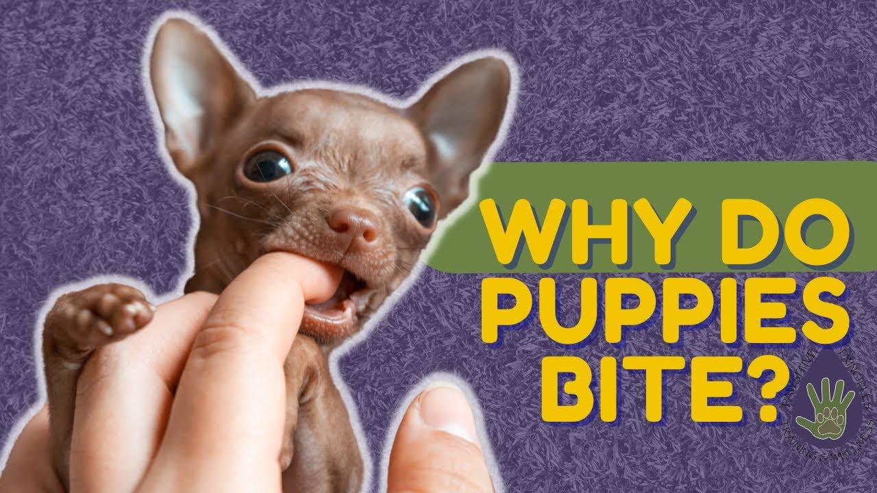 Why Do Puppies Bite? - Bite Inhibition Training