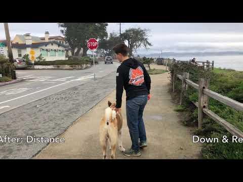 11 Month Old Akita | Hakuma | Dog Training in Monterey, CA
