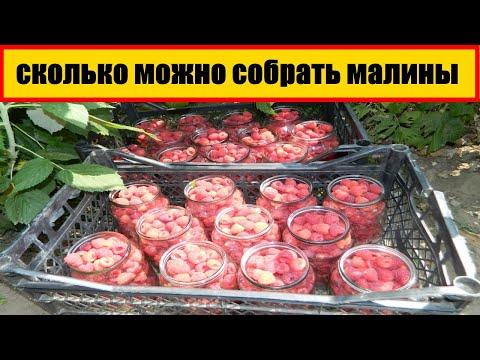 урожай ремонтантная малина    сколько можно собрать малины с 1 сотки    бизнес на малине в селе