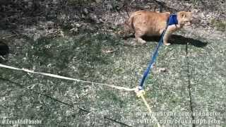 Leash Trained Cats