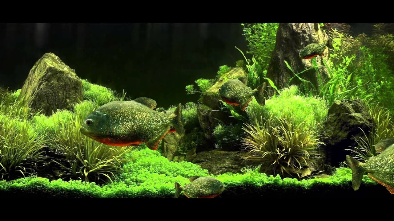 Fish aquarium live wallpaper - Realistic 3d Piranha Fish Aquarium Live Wallpaper