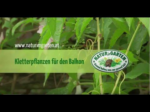 Kletterpflanzen Fur Den Balkon