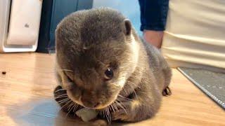 カワウソさくら 以前にも増して景気良くレタスをもしゃるカワウソ otter eating lettuce violently thumbnail