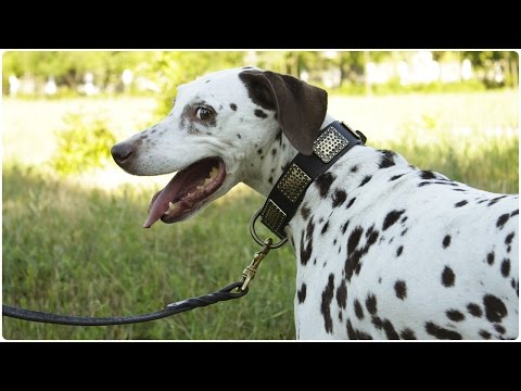 "Playful  Dalmatian on the walk with her ""Luxurious Comfort"" Leather Dog Collar on"