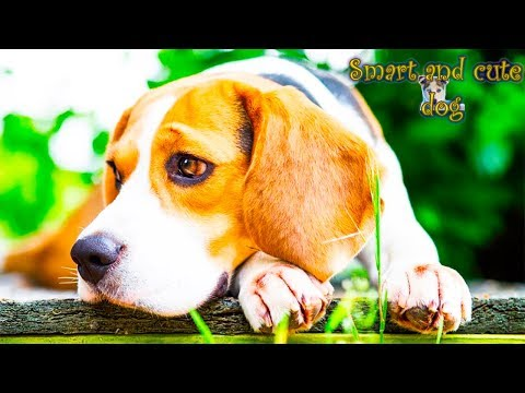 Beagle Dog jumps on two paws and reflects the rhythm. Incredible dog. Compilation