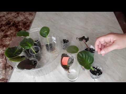 видео: Как вырастить фиалку из листика  Укоренение и размножение сенполии