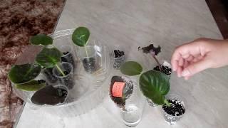 Как вырастить фиалку из листика  Укоренение и размножение сенполии