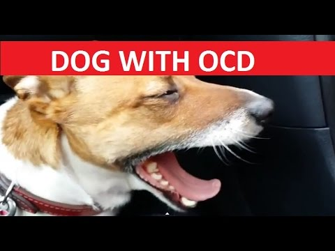 Canine Obsessive Compulsive Disorder (OCD in 'Emmy' the ...