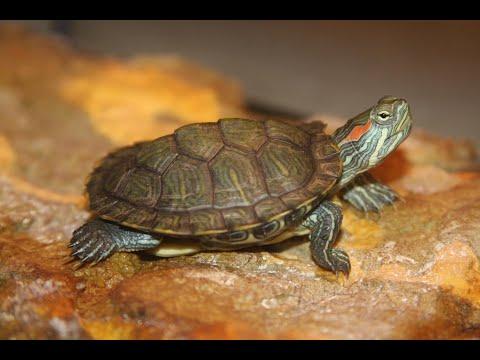 Как ухаживать за красноухой черепахой в домашних условиях.