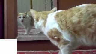 Приколы !!! Зеркало и кошки
