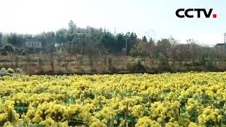 百村脱贫记 安徽海井村:采菊正当时 香飘脱贫路 |《中国新闻》CCTV中文国际 - YouTube