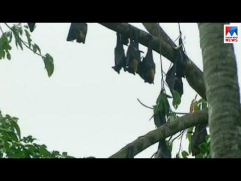 നിപ്പയെ തുരത്തി ഇടുക്കിയിലെ കർഷകർ | nipah virus |  idukki | bat