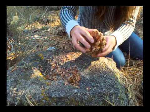 How to harvest pine nuts in the forest