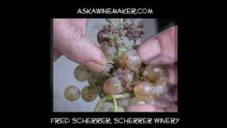What is Botrytis? Fred Scherrer shows how it affects Chardonnay.