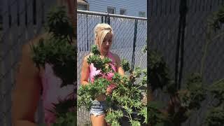 Gambar cover CANDYLAND OG One RIP OG Giggly weed HARVEST MARIJUANA REVIEW Grow Tips OG PLANT  light dep
