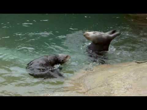 Sea Otter Ballet