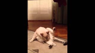 Кот лижет яйца