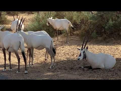 Dubai   Dubai Desert Conservation Reserve   Al Maha (Arabian Oryx) moves around the desert.
