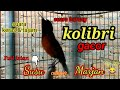 Suara Burung Kolibri Gacor Full Isian Susu Campur Marjan This Animal Is The Result Of Saving  Mp3 - Mp4 Download