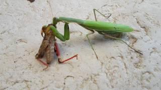 Une mante religieuse attaque et mange une sauterelle encore vivante plus grosse qu'elle ! Incroyable