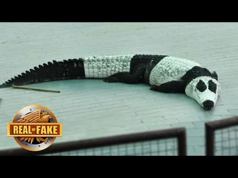 NEW PANDA LIKE CROCODILE DISCOVERED - real or fake?