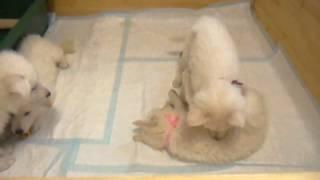 ホワイトスイスシェパードの仔犬生後48日目 父:ホワイトスイスシェパ...