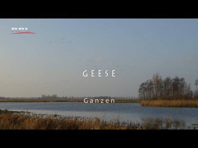 Geese, Natuur in de omgeving - RPL TV Woerden - 17 december 2018