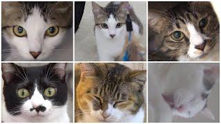 NyankuruTV Vol.1  にゃんくるTV【かわいい猫カフェ/保護猫】【Cute Cat Cafe】