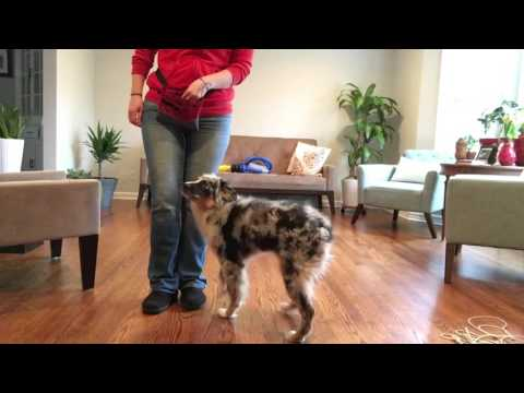 Five-Month-Old Australian Shepherd Puppy Learns Attention Heel