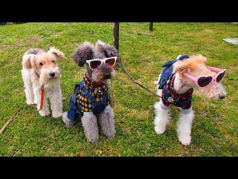 Tout, tout pour ma chérie  - meet the Fox Terriers -