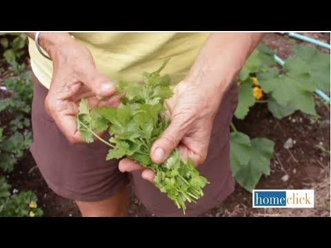 Growing Cilantro How To Grow Cilantro Youtube