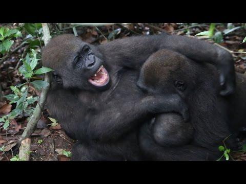 République du Congo : Les gardiens des gorilles