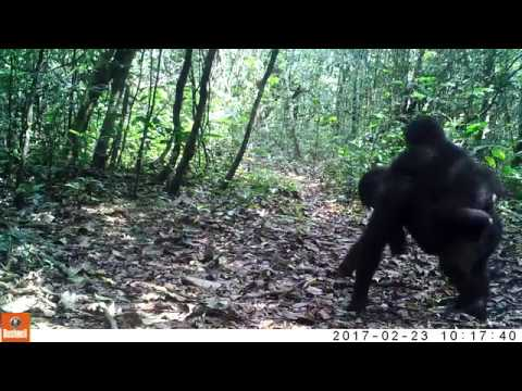 Gorilla family living wild and free in Gabon