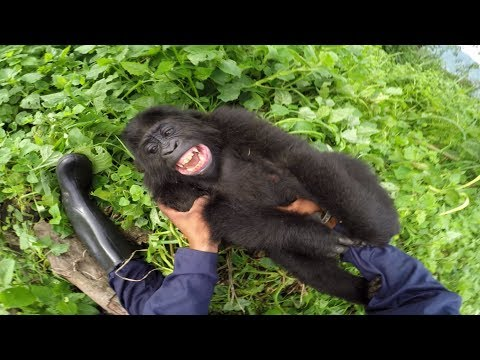 May You Have As Much Fun As Thid Gorilla Cub!