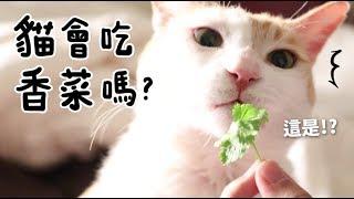 黃阿瑪的後宮生活-貓會吃香菜嗎
