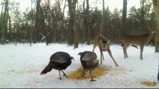 Deer And The Turkeys