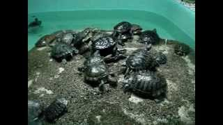 Как долго растут красноухие черепахи?