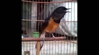 Burung Muray Belajar Ngomel