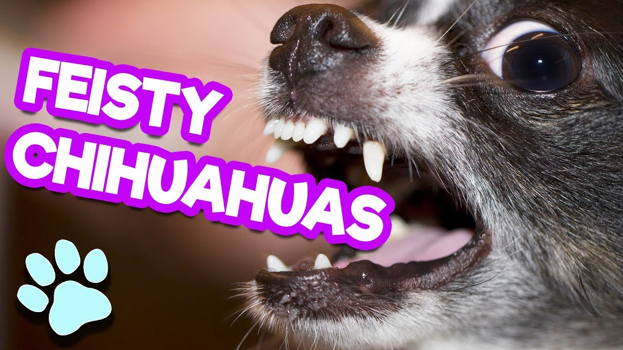 Funny Feisty Chihuahuas | Try Not to Laugh Challenge ...
