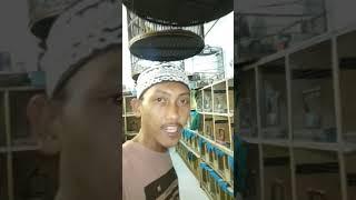 Y.MH YOGI MURAI BANDAR LAMPUNG. #Bongkar stok 270ekor MURAI BATU