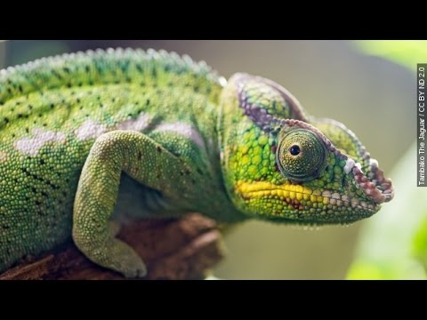 How Chameleons Could Help Save Madagascar's Rainforest